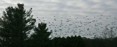 starlings in winter